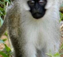 Black Face monkeys Sticker