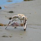 Piping Plover - Charadrius melodus by Lee d'Entremont