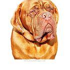 Douge de Bordeaux headshot by brijo