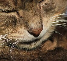 Close-up of tabby cat by turniptowers