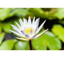 White Lotus Water Lily Photographic Print