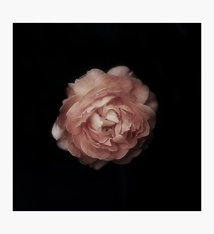 The most beautiful rose ever Photographic Print