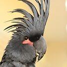 Black Palm Cockatoo by Kimberly Palmer