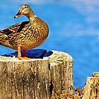 Female Mallard Duck by imagetj