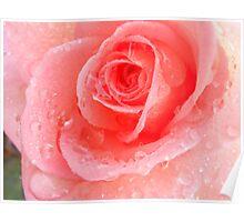 Peach Rose Blossom Poster