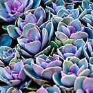 Succulent by Hena Tayeb