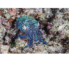 Bobtail Squid Photographic Print