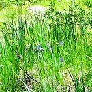 Wild Iris by marilyn diaz