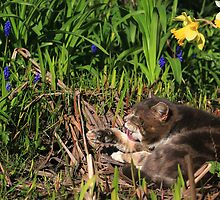 Tabby cat licking paw in garden by turniptowers