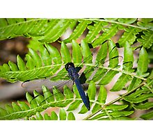 Great Blue Skimmer Dragonfly Photographic Print