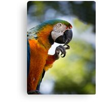 Blue and orange macaw sitting on a perch and cleaning its talons Canvas Print