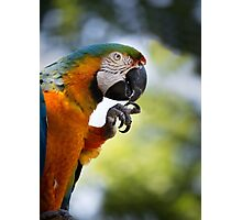 Blue and orange macaw sitting on a perch and cleaning its talons Photographic Print