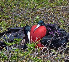 Ecuador. Galapagos Islands. Frigatebirds. Sweethearts. by vadim19