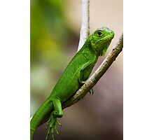 Baby Green Iguana Photographic Print