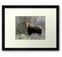 Shiras Moose Framed Print