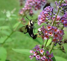 Snowberry Clearwing Moth by StarryGardens