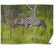 Two Zebras grazing Poster