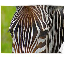 Zebra with brown top hair Poster