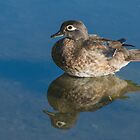 Juvenile Male Wood Duck in Still, Shallow Water by Gerda Grice