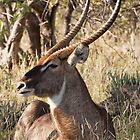 Waterbuck by Vickie Burt