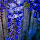 Wisteria by wallarooimages