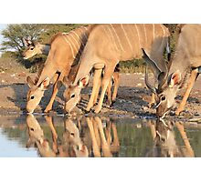 Kudu - African Wildlife Background - Reflection of Pleasure Photographic Print