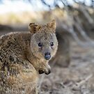 Quokka by Ben Ryan