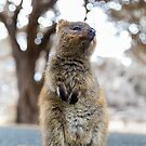 Quokka standing by Ben Ryan