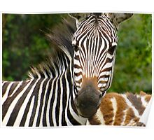 Baby Zebras are Brown Poster
