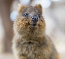 Quokka smiling by Ben Ryan