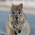 Quokka looking to camera by Ben Ryan