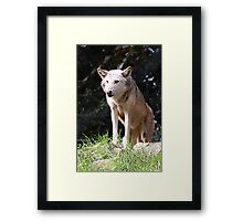 Gray Wolf poised and ready Framed Print