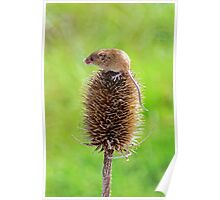 Harvest Mouse Poster