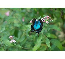 Butterfly Blue Photographic Print
