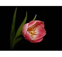 Pink Two Tone Tulip Photographic Print