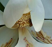 MAGNOLIA GRANDIFLORA by Marilyn Grimble