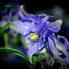 Blue Columbine - May 2016 by cclaude