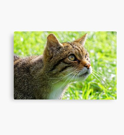 Scottish Wildcat  Canvas Print