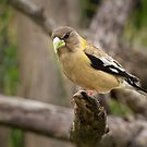 FEMALE EVENING GROSBEAK by Sandy Stewart