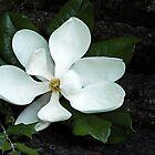Magnolia, How Sweet Thou Art by Terri Chandler