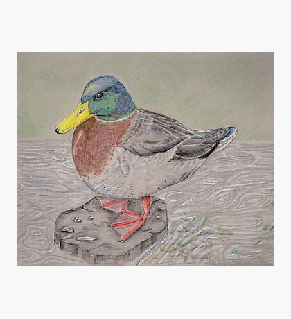 Mallard Duck Photographic Print