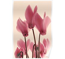 Cyclamens Poster