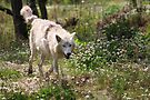 On the Run - Hudson Bay Wolf by Jo Nijenhuis