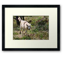On the Run - Hudson Bay Wolf Framed Print