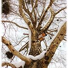 Old birch tree in it's winter coat by globeboater