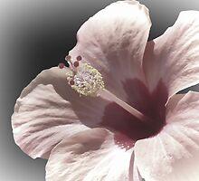 Pale Peach Hibiscus by Lynn Bolt