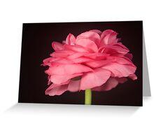 Lone Pink Ranunculus Greeting Card