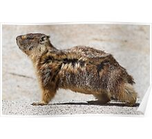 The marmot who poses in the wind Poster
