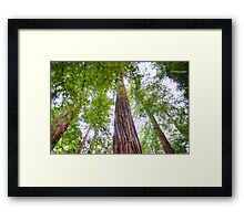 Redwood Forest Framed Print