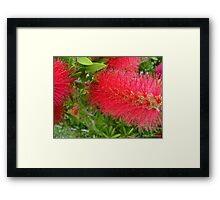 Bee on Red Bottle Brush Bush Framed Print